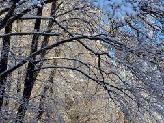 Śnieżne gałązki D. Hutman Ostrowiec.JPG