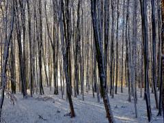 Zimowy las D. Hutman Ostrowiec.JPG
