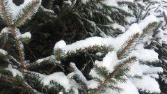 Śniegowe igiełki J. Czapla Postomino.jpg