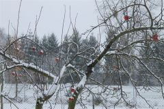 Jabłka wpuchowej pierzynce D. Batorski Smardzewo.JPG