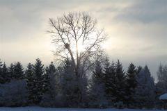 Topola wblasku wschodzącego słońca L. Grycko Smardzewo.JPG